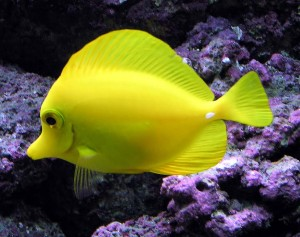 Yellow Tang Underwater